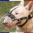 Bull terrier normal