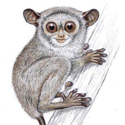 Kpp Tarsius V Twitter 1 Primata Dalam Klasifikasi Ilmiahnya Termasuk Kedalam Kelas Mamalia Seperti Kelelawar Jerapah Dan Juga Hewan Dgn Ciri Menyusui Lainnya