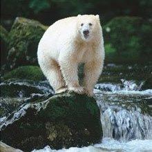 Grolar bear - photo#26
