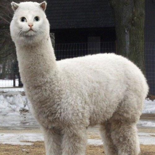 image - Alpacat - Jokes and Humor