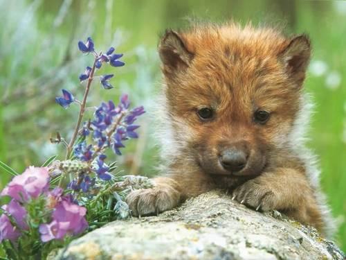 Cowolf