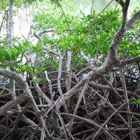 mangrovephile