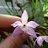 orchiddelirium