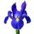 Iris Francis