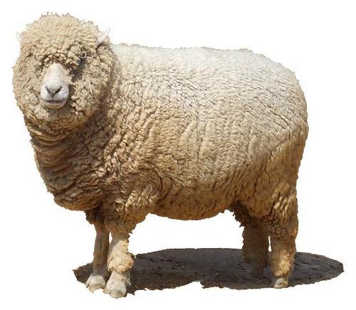 ツッコミ担当の羊 (@idea_sheep ... : 羊 年賀状 : 年賀状