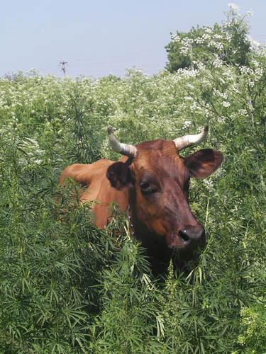 Конопля корова и конопля тверская область