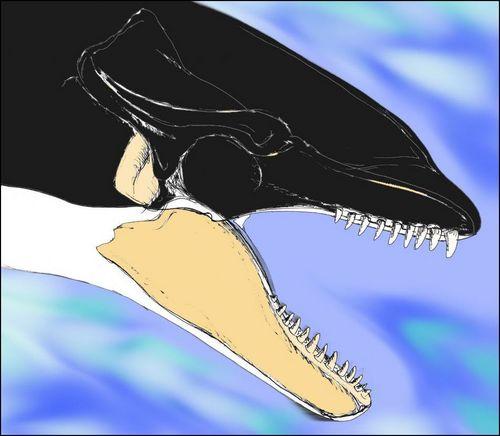 @Voice_OT_Orcas