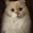 t-cat 14歳ラグドールと暮らしてます