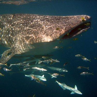 Ocean Eco Adventures Whalesharkoea Twitter