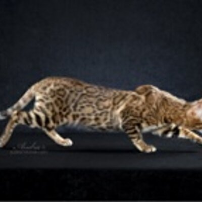 Bengal cats havelock nc