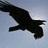 Black_Raven_31