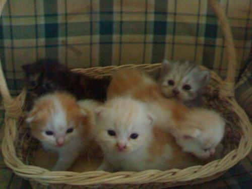 Jual Kucing Persia Anak Harga 11