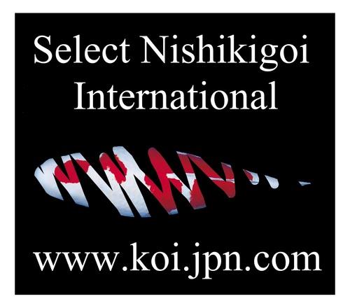 Image gallery nishikigoi international for Nishikigoi for sale