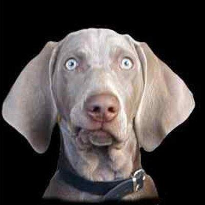 Weimaraner Dog Rescue Uk
