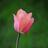 @tulipanor