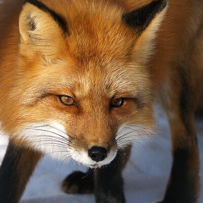 Kitty fox Nude Photos 51