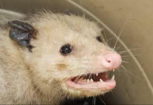 rabid possum rabidpossum twitter