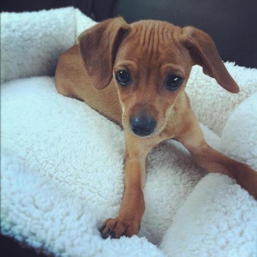 full grown cheagle
