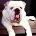 Bazil the Bulldog Avatar