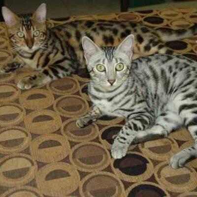 Silver Bengal Cat Australia
