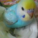 幸せの青い鳥ちゃん☆ (@234kotorilove) Twitter