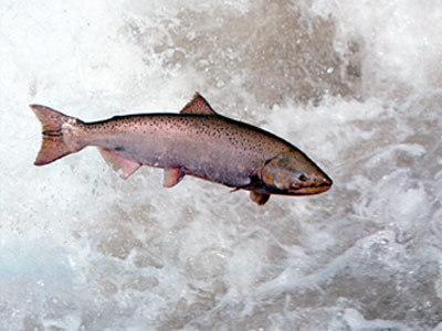 Salmon Sex 98