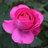 okitsu_rose