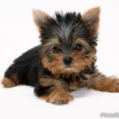 Yorkie Facts On Twitter The Yorkshire Terrier Is One Of The