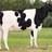 Melkveehouder/fokker haneker raadslid giessenlanden