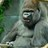 gorilla montoon️️