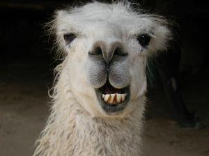 Weird Llama Pictures 10