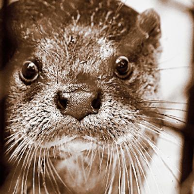 ちっちゃいハクちゃんみつけた。20130304 まだ5ヶ月前だ。 #サンシャイン水族館 #コツメカワウソ https://t.co/1RP1xJqwXz