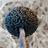 Fungus_niger