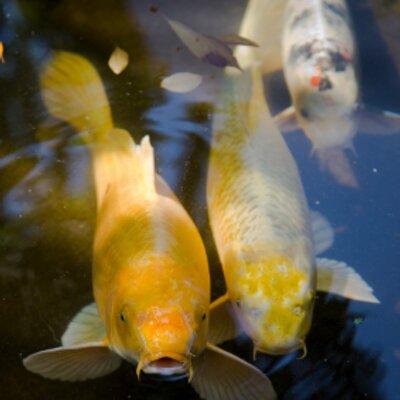 Koi fish info koifishinfo twitter for Small koi fish care