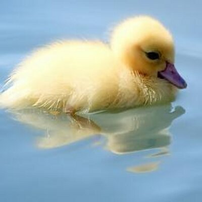Little Cute Duck Littlecuteduck Twitter