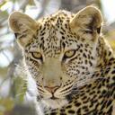 Leopardsquare038 reasonably small