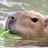 capybara siesta