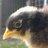 Bird poultry