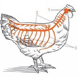 Chicken brain anatomy