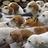 foxamonghounds