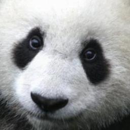 Hi I M Panda Bear Pandabeartime Twitter