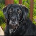 Ike the service dog
