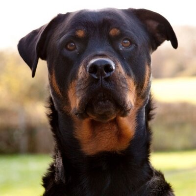 Scarlett Rottweiler On Twitter Very Pleased To Say That It Looks