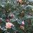 mialeswing