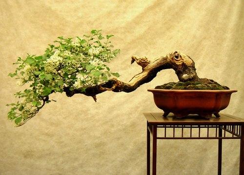 Hukyu Bonsai Society Hukyubonsai Twitter