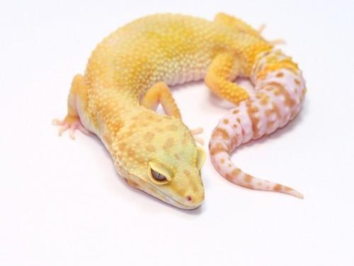 Leopard Gecko Guy Leopardgecko10 Twitter