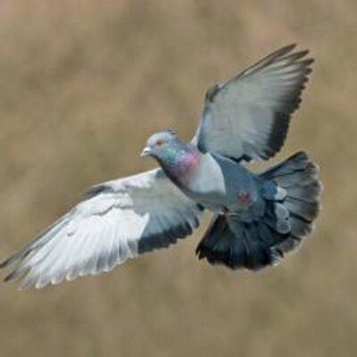 Pigeon Racing على تويتر: