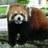 ezo_tanuki