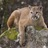 CalPoly MountainLion