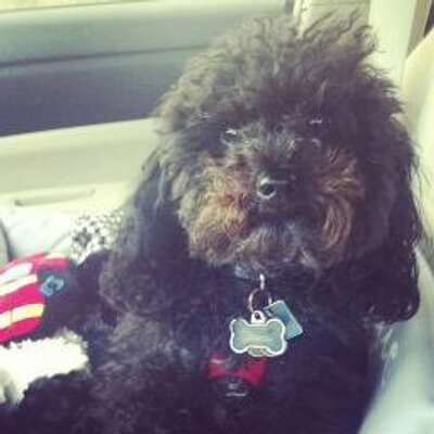 Ralph the poodle | Social Profile